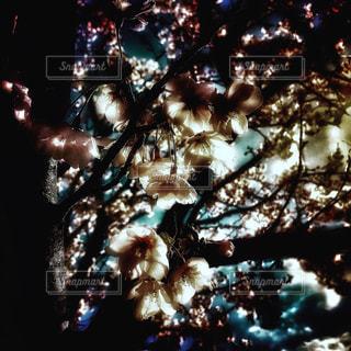 桜の花のアップの写真・画像素材[2021486]