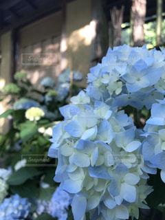 屋外,紫陽花,梅雨