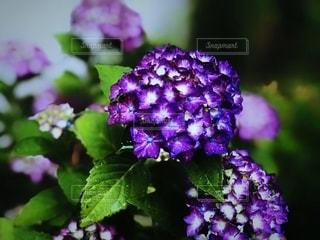 花,雨,あじさい,水滴,景色,鮮やか,紫陽花,梅雨,草木,雨の日,アジサイ,フォトジェニック,ブルーム,インスタ映え,フローラ