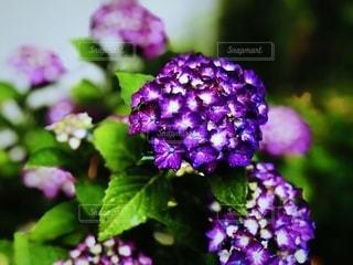 花,雨,あじさい,紫,水滴,景色,鮮やか,紫陽花,梅雨,天気,草木,雨の日,アジサイ,フォトジェニック,ブルーム,インスタ映え,フローラ
