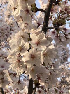 桜の写真・画像素材[1907244]