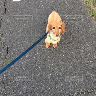 犬,散歩,わんこ,ダックス,ミニチュアダックスフンド,愛犬,犬の散歩,わんちゃん,ダックスフンド
