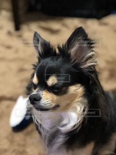 犬,チワワ,ペット,癒し,可愛い,ブラックタン