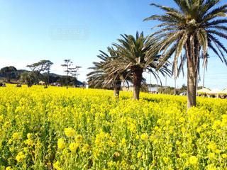 自然,空,花,黄色,菜の花,景色,日差し,休日,のんびり,菜の花畑,お出かけ,愛知