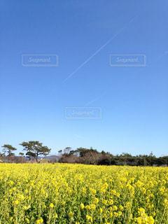 菜の花畑と空の写真・画像素材[1012970]