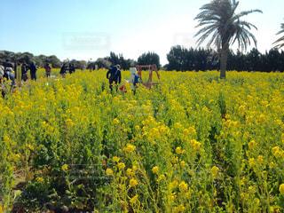 自然,花,黄色,菜の花,景色,日差し,休日,のんびり,菜の花畑,お出かけ,愛知,菜の花イベント