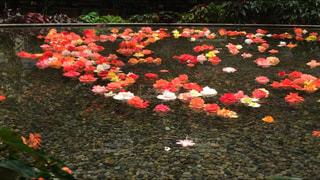 なばなの里 バラの池の写真・画像素材[1014240]