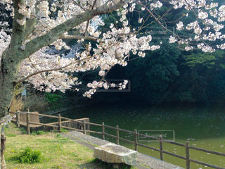 桜,静岡市,2018.4月,船越堤公園