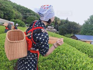 お茶摘み娘の写真・画像素材[2130778]