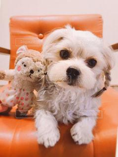 犬,動物,白,茶色,ぬいぐるみ,癒し,三つ編み,可愛い,ヘアアレンジ,mix犬,ミルクティー色