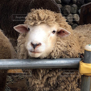 動物,かわいい,茶色,羊,ひつじ,動物園,ベージュ,モコモコ,ミルクティー色