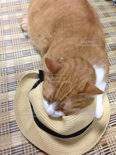 猫,動物,にゃんこ,帽子,茶色,居眠り,ねこ,ベージュ,眠い,ミルクティー,ネコ,ミルクティー色