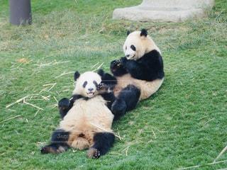 仲良しパンダの写真・画像素材[1997893]