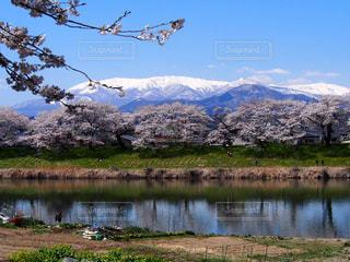 白石桜の写真・画像素材[2022218]