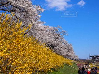 花満開の写真・画像素材[2022311]