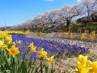 春が来ましたの写真・画像素材[2022316]