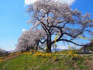 桜ばかり見ないで僕も見てねの写真・画像素材[2022397]