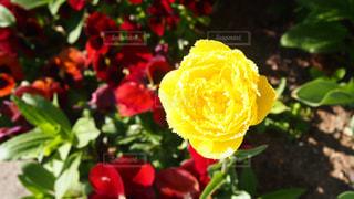 黄色いバラの写真・画像素材[2022425]