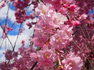 枝垂れ桜満開の写真・画像素材[2033290]