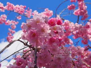 ピンク色々の写真・画像素材[2033309]