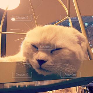 猫,動物,茶色,寝る,子猫,可愛い,ベージュ,ミルクティー色,ネコ科の動物