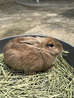 動物,屋外,ミルクティー,ウサギ,干し草