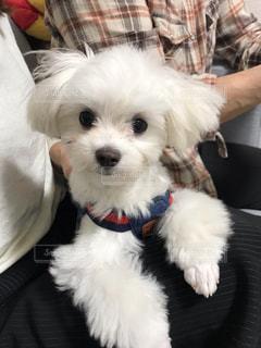 犬,動物,屋内,白,かわいい,座る,子犬,マルチーズ,抱っこ