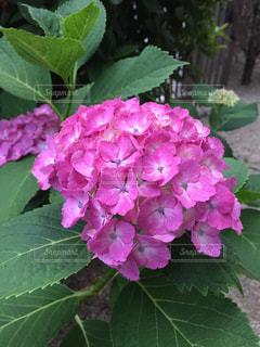 お庭の紫陽花の写真・画像素材[1950009]