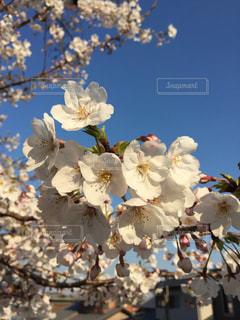 桜の写真・画像素材[1950194]