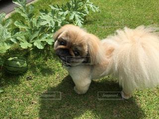 愛犬の写真・画像素材[2006227]