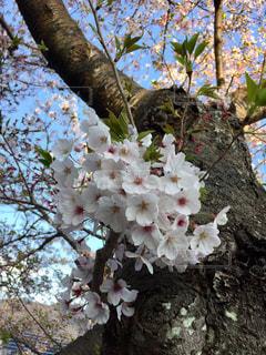 葉桜の写真・画像素材[2020769]