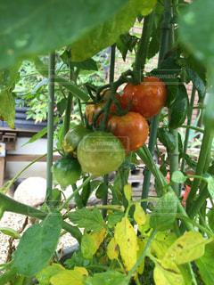 プチトマトに水やりの写真・画像素材[2109325]