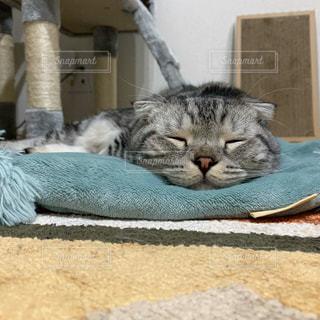 猫,屋内,昼寝,寝転ぶ,ねこ,子猫,人物,グレー,すやすや,キティ,ぺたんこ,折れ耳,ぺたん寝