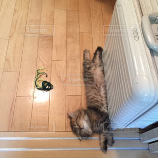猫,動物,屋内,茶色,昼寝,ねこ,床,子猫,スーツケース,モフモフ,ペルシャ,仰向け,キティ,へそ天,びよーん