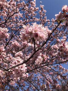 女性,子ども,家族,恋人,友だち,1人,2人,3人,5人以上,春,屋外,樹木,草木,桜の花,さくら,ブルーム,ブロッサム