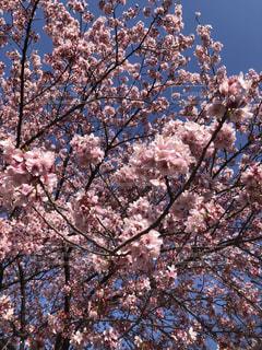 女性,子ども,家族,恋人,友だち,1人,2人,3人,5人以上,花,春,ピンク,樹木,草木,さくら,ブルーム,ブロッサム