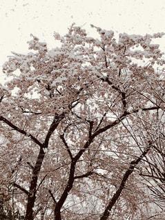 女性,男性,子ども,家族,恋人,友だち,1人,2人,春,雪,屋外,樹木,草木,桜の花,ブルーム,ブロッサム,オーク