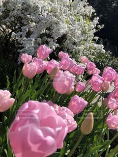 ピンクのチューリップの写真・画像素材[2124861]