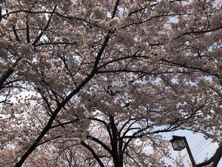 風景,空,花,春,桜,屋外,ピンク,花見,満開,樹木,お花見,草木,桜の花,日中,さくら,ブロッサム,blossom,さくら満開