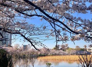 自然,風景,空,花,春,桜,屋外,青空,晴天,水面,池,花見,反射,樹木,お花見,草木,不忍池,桜の花,さくら,ブロッサム