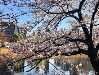 空,花,春,桜,屋外,青空,水面,池,花見,樹木,お花見,草木,不忍池,桜の花,さくら,ブロッサム,水面に映る