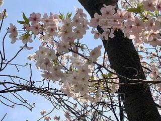 花,春,桜,屋外,青空,晴天,花見,満開,樹木,お花見,草木,桜の花,さくら,ブロッサム,さくら満開