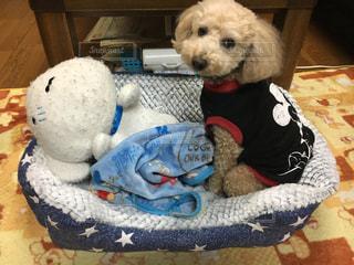 犬,屋内,ぬいぐるみ,可愛い,毛布,トイプードル,プリン,男の子,アニメ,お気に入り,シロ,11歳,クレヨンしんちゃん