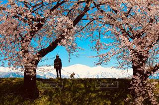 犬,桜,ブルドッグ,散歩,山