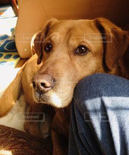 犬,動物,茶色,ミックス,ラブラドールレトリーバー,バーニーズマウンテンドッグ