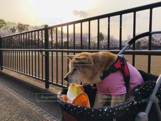 犬,公園,桜,動物,屋外,散歩,花見,いぬ,mix,老犬,わんちゃん,ベッド,17歳,犬カート