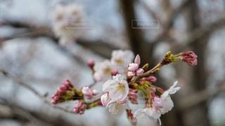 桜の写真・画像素材[1949282]