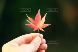 グラデーション紅葉の写真・画像素材[2645874]