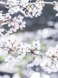 桜の花と川の光の写真・画像素材[2782071]