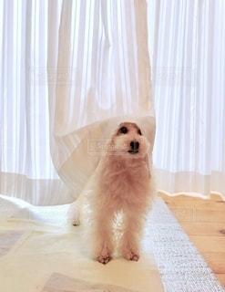 カーテンから覗く犬の写真・画像素材[2796198]